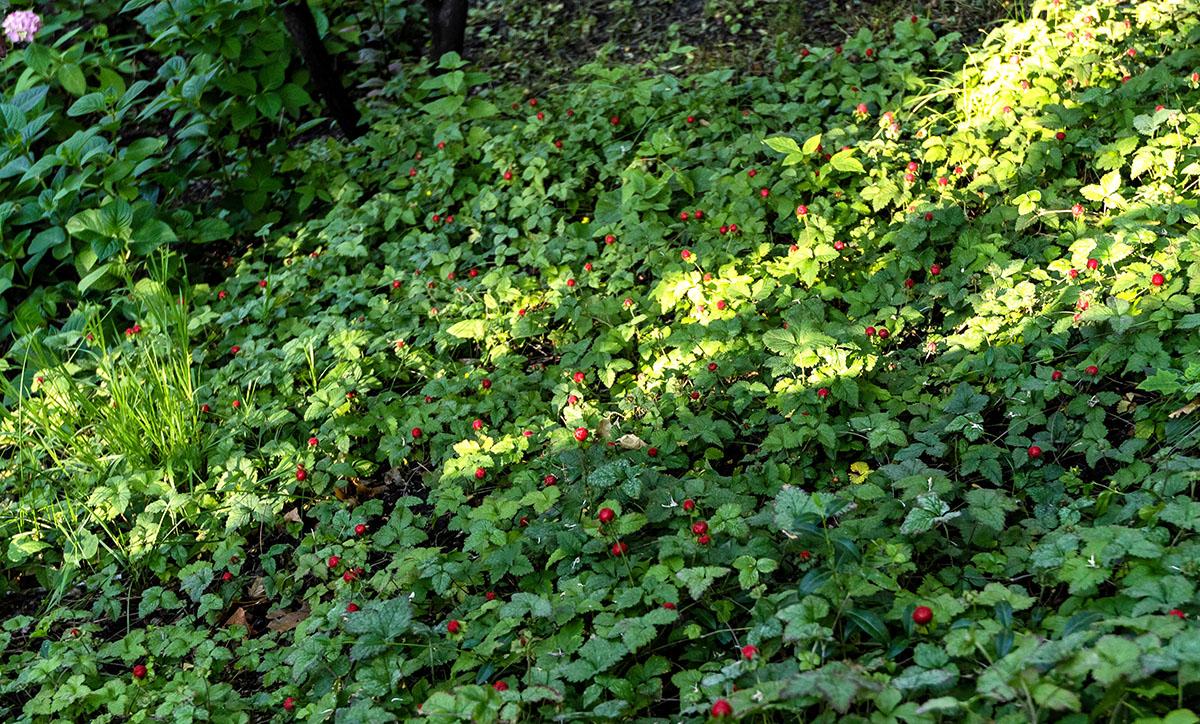 Склоны возле «Террасы» усеяны земляникой, только есть её нельзя.